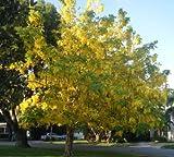 1 Golden Rain Tree (Koelreuteria paniculata)