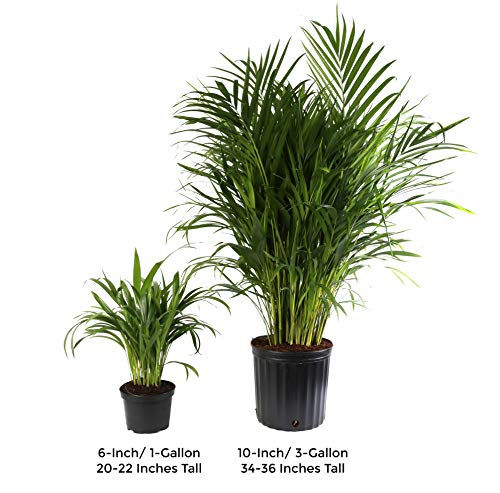 Costa Farms Live Areca Palm in Decor Planter, 3-Foot, White-Natural by Costa Farms (Image #3)