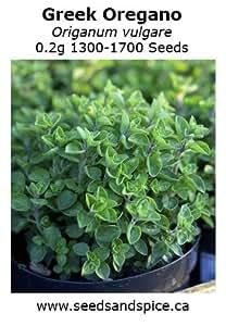 Greek Oregano (Origanum vulgare) 0.2g 1300-1700 Seeds. 1g, 5g, 25g quantity options (0.2g 1,300-1,700 Seeds)