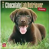 Chocolate Labrador Retriever Puppies 2014 Calendar