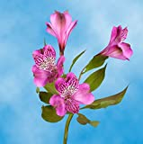 GlobalRose 240 Blooms of Lavender Fancy Alstroemerias 60 Stems - Peruvian Lily Fresh Flowers for Delivery