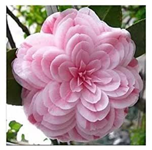 Camellia seeds, Camellia flowers seeds 24kinds color for chose 2 seeds