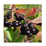 ARONIA PRUNIFOLIA ARON' - Starter Plant DW