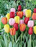 SILKSART 50 Tulip Bulbs early bloom Perennial Bulbs for Garden Planting Beautiful Flower--SHIPPING NOW!!!