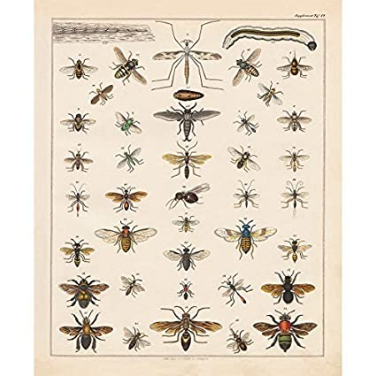 Amazon Vintage Poster Print Art Insects Identification