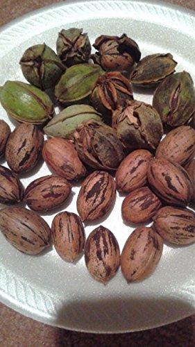 Pecan tree seeds(20 seeds)fresh this season's harvest from my own garden by larryvjackson