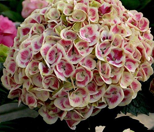 Cityline Mars Hydrangea macrophylla - Long Lasting Blooms - Proven Winners
