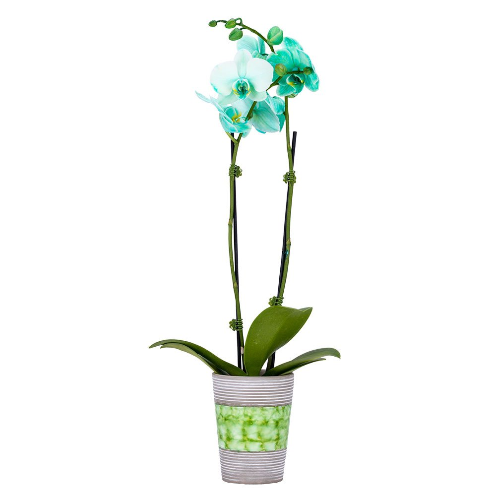 DecoBlooms Living Green Orchid Plant - 3 inch Blooms - Fresh Flowering Home Décor