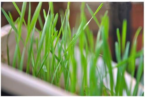 5 Paquete 1000 de semillas Las semillas de la hierba del gato para su gato Semilla Domésticos Alimentos para mascotas Hierba L001: Amazon.es: Jardín