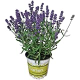 Lavendel - Lavendel-Pflanze im großen Topf in 1A Gärtnerqualität - Lavendel-Topf winterhart mehrjährig - Staude für Balkon und Garten
