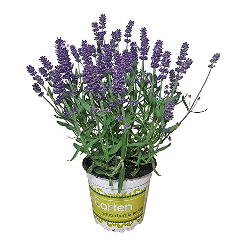 Lavendel - Lavendel-Pflanze im großen Topf in 1A Gärtnerqualität