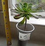 """Aeonium Arboreum """"VELOUR"""" Succulent mature- healthy plant with roots # 5"""