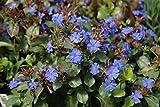 Sandys Nursery Online Plumbago Ceratostigma plumbaginoides Groundcover Blue Flowers Lot of 2 Starter Plants