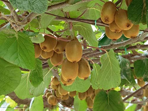 Shoppy Star Germinación de las semillas: 10 semillas primera clase con tracki: Semillas Actinidia chinensis oro Kiwi dulce...