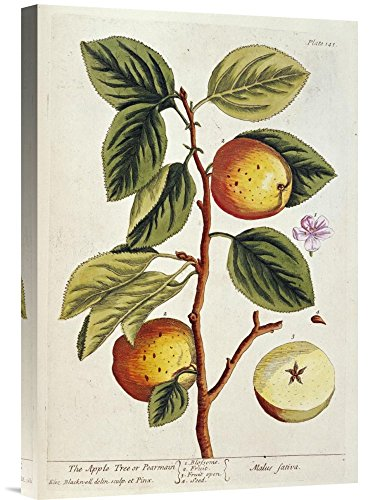 Global Gallery Budget GCS-265943-22-142 Elizabeth Blackwell Apple Tree Gallery Wrap Giclee on Canvas Print Wall Art ()
