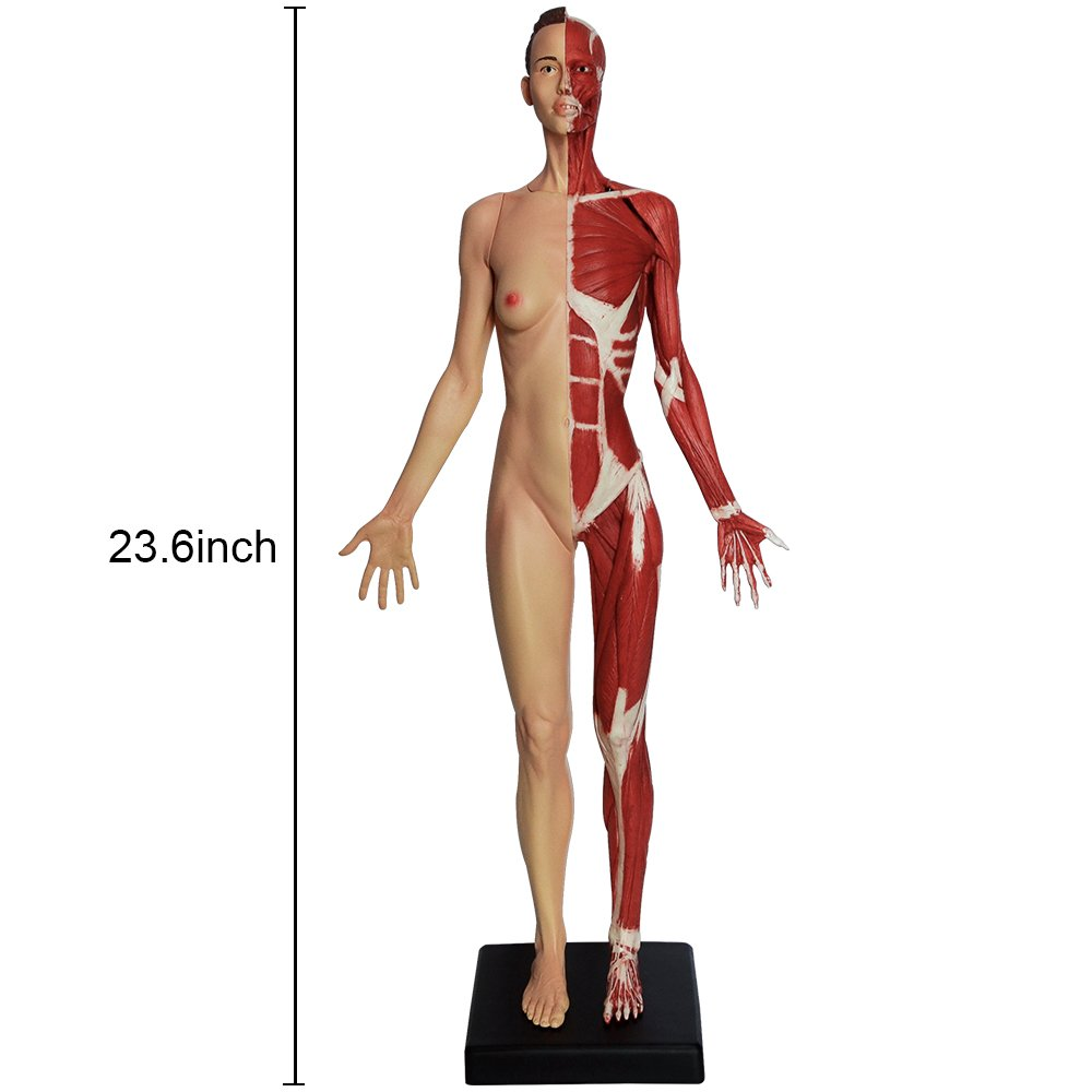 Amazon D8 236 Inch Female Human Anatomy Model Of Art Anatomy