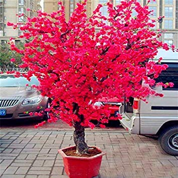 Flowering Trees Red - Hot Selling! 10 PCS Red Japanese cherry blossoms Seeds Courtyard Garden Bonsai Tree Seeds Small Sakura Tree Seeds