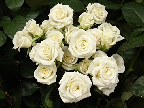- 120 Real Fresh Spray Rose White Majolika