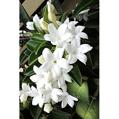 Stephanotis floribunda Madagascar jasmine vine rare fragrant flower seed 5 SEEDS : Garden & Outdoor