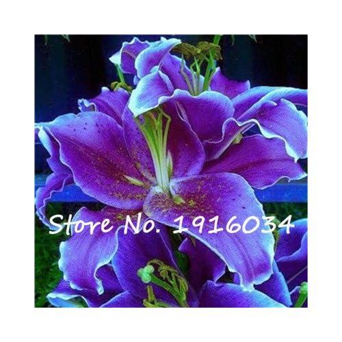 Low Cost Ture Amaryllis Bulbs Hippeastrum Flower (Not Amaryllis Seeds) Roof  Terrace Garden