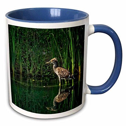 3dRose Boehm Photography Bird - Juvenile Black Capped Night Heron - 15oz Two-Tone Blue Mug (mug_223424_11)