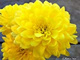 500 YELLOW CHRYSANTHEMUM Morifolium Flower Seeds