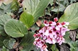~GORGEOUS~ 3 hardy Hosta Bergenia cordifolia plants