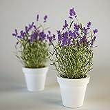 Creative Farmer Herb Seeds For Planting - True English Lavender Vera Augustifolia Herb Flower Kitchen Garden Pack