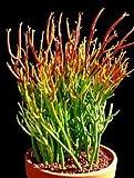 Pencil Cactus, Firesticks | 7 Succulent Cuttings | EASY to Grow!