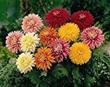 50 Assorted Chrysanthemum Seeds - My Secret Gardens