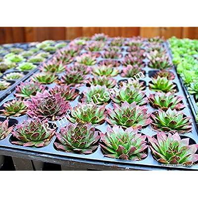 50 Sempervivum Black Cactus Succulents Plants Tray Wholesale Zone 3-9 LOT : Garden & Outdoor