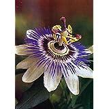 TROPICA - Passion Flower (Passiflora caerulea) - 25 Seeds - Climbing Plants