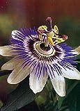 TROPICA - Fiore della passione (Passiflora caerulea) - 25 Semi- Piante rampicanti