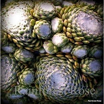 50 Sempervivum a. Cobweb Buttons Cactus Succulents Plants Zone 3-9 LOT : Garden & Outdoor