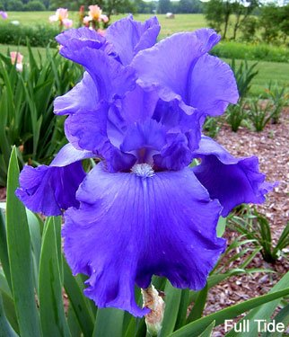 Pretty Flowering Perenials, Reblooming Iris, Bearded Iris Full Tide, Root, Plant, Great Spectacular Flower Heads