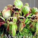 New Potted blue Cephalotus follicularis 100+ Seeds