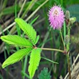 Pakhuis Herb Sensitive pink Moving Hostilis Mimosa Pudica seeds Plant
