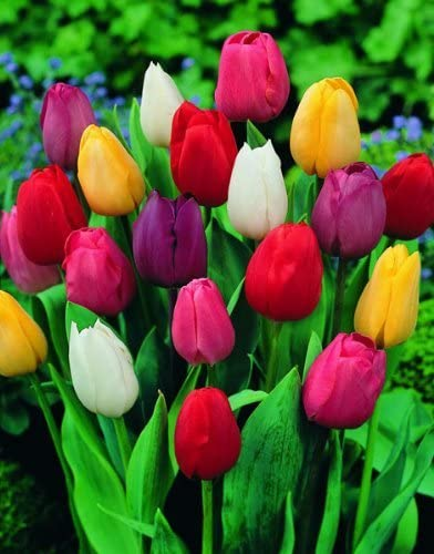 Amazon Com Saavyseeds Mix Perfection Tulip Seeds 55 Count