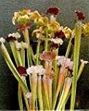 Pitcher Plant 15 seeds - Carnivorous - Sarracenia