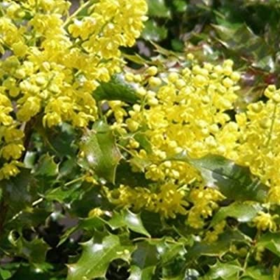 Tall Oregon Grape Seeds (Mahonia aquifolium) 10+ Rare Medicinal Herb Seeds + FREE Bonus 6 Variety Seed Pack - a $29.95 Value! Packed in FROZEN SEED CAPSULES for Growing Seeds Now or Saving Seeds