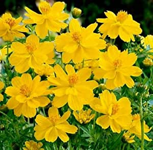 Cosmos Seed, Yellow Sunshine, Sulfur Cosmos, Taller Variety, Non-Gmo Seeds 75ct