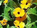 Perennial Climbing Plant Yellow Thunbergia Alata