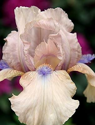 REBLOOMING Bearded Iris Concertina Early Season Blooming - Bumper Crop - 100 Large Rhizomes!