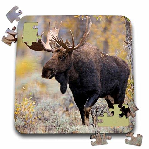 Danita Delimont - Moose - Large bull Moose, Grand Teton National Park, Wyoming - 10x10 Inch Puzzle (pzl_279845_2) -