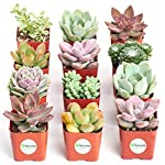 Shop-Succulents-Premium-Pastel-Collection-of-Live-Succulent-Plants-Hand-Selected-Variety-Pack-of-Mini-Succulents-Collection-of-12
