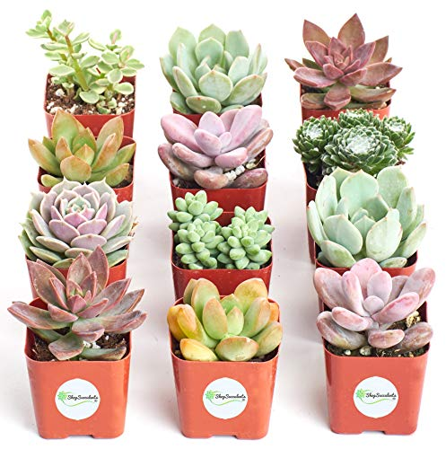 Sun Wreath Seed - Shop Succulents | Premium Pastel Collection of Live Succulent Plants, Hand Selected Variety Pack of Mini Succulents | Collection of 12