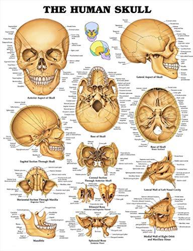 The Human Skull Anatomy Poster 32