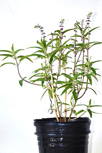 Mexican Bush Sage, Salvia leucantha Santa Barbara', 1 Gallon (No Ship to CA,AZ)