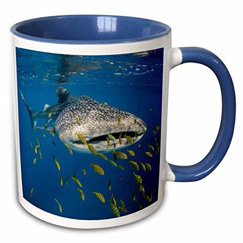 3dRose Danita Delimont - Whale Shark - Whale Shark and Golden Trevally, Cenderawasih Bay, West Papua 05 - 11oz Two-Tone Blue Mug (mug_247586_6)
