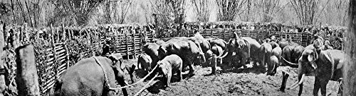 (India Elephant Stockade NTowing A Young Tusker Out Of The Inner Stockade Domestication Of Wild Elephants In India Poster Print by (24 x 36))